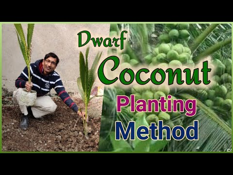 How To Plant A Dwarf Variety High Yielding Coconut Tree
