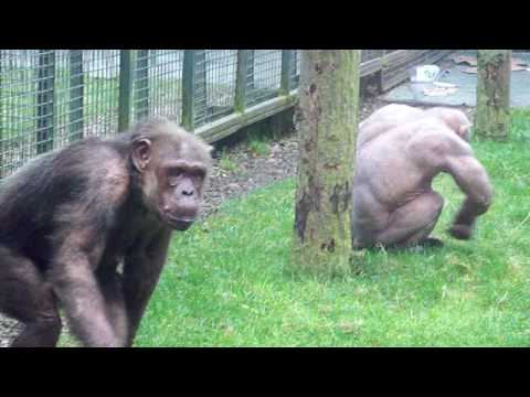 jambo the bauld chimp youtube
