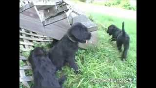 Natural Giant Schnauzer Puppies 8 Weeks Old Today - Part 2