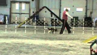 Cavalier Agility  Clockpelters Magic Charm.. Daphne Gets Her Oa Agility Title In Maryland