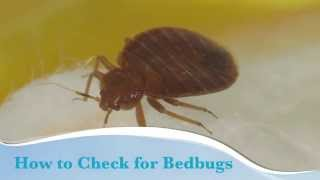 How to check for bedbugs video