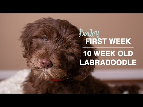 First Week With Our New Puppy | 10 Week Old Labradoodle Puppy