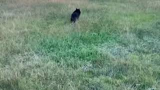 Schipperke fun  let's run!