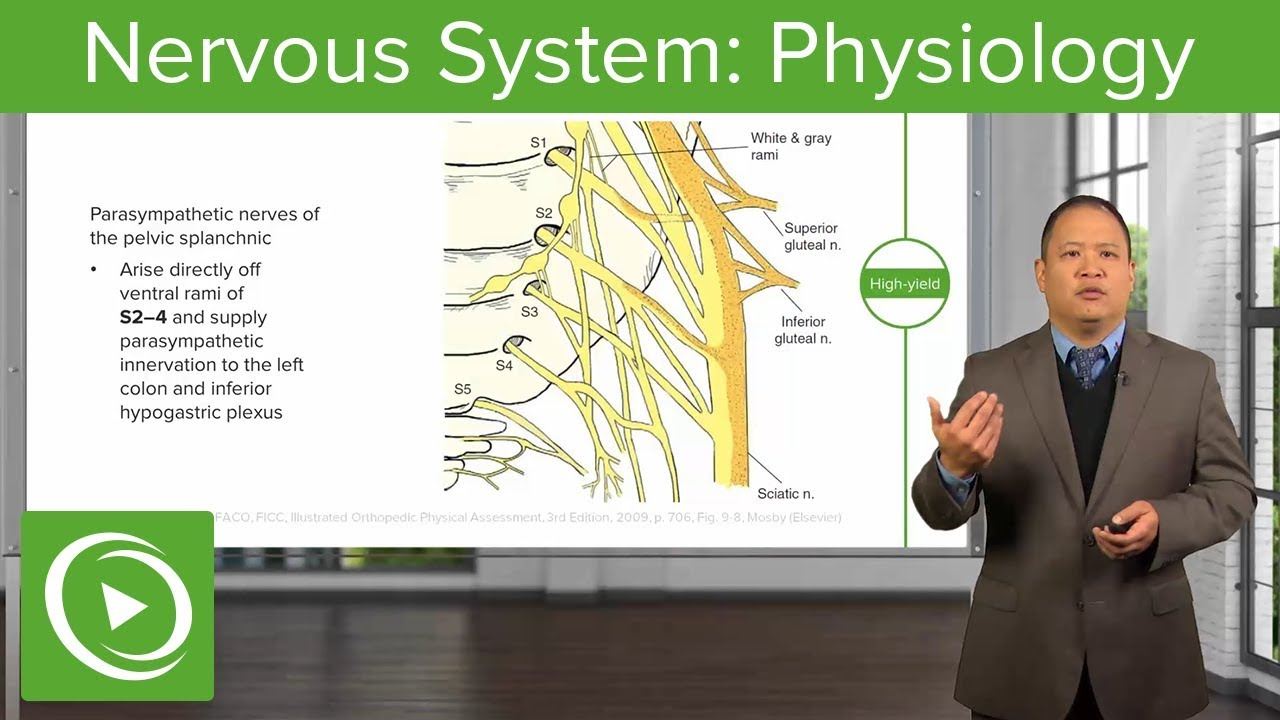 Nervous System: Physiology – Osteopathic Manipulative Medicine (OMM) | Lecturio