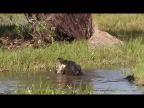 Crocodile eats Pig (Yellow Water Billabong) Kakadu Australia