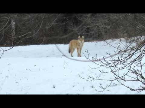 Coyote Wolf Hybrid In Great Brook Farm State Park In Carlisle MA