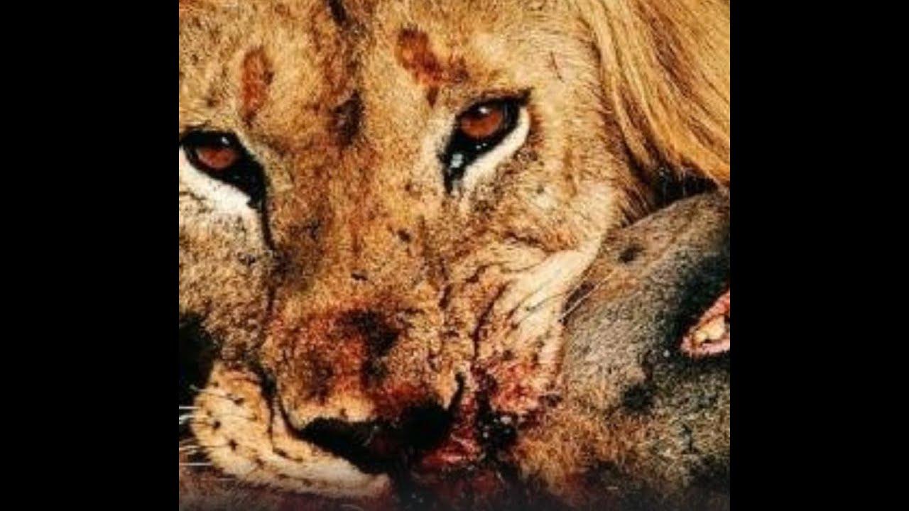Mountain lion vs dogo argentino cougar puma fight - YouTube