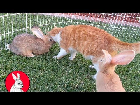 5 Baby Flemish Bunnies Playing In Grass With Cat