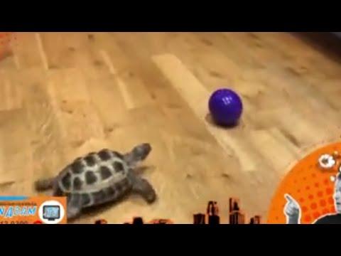 Turtle (เต่า) กับ Tortoise (เต่า) ต่างกันอย่างไร ?? - วันที่ 28 Jul 2017