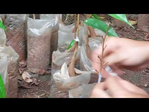 Teknik Dan Cara  Sambung Dini Pohon Durian