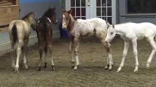 "Gentling ""orphan"" nurse foals with Reach Out to Horses training methodologies"