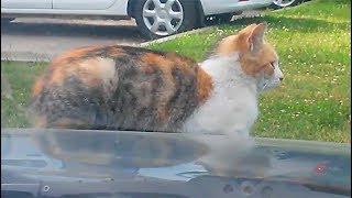 ТИГРОВЫЙ КОТ греется на капоте. УШИ-ЛОКАТОРЫ. Tiger cat is warming himself on the car's hood.