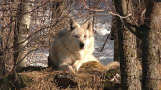 International Wolf Center- Sounds of Packs (Exhibit and Retired) 23 March 2018