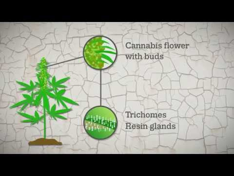 Cannabis resin production explained