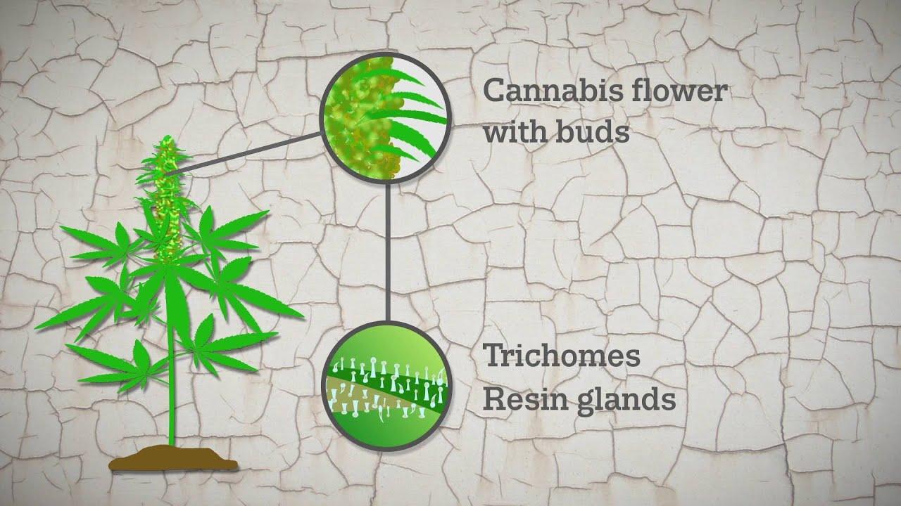 Changes in Europe's cannabis resin market | www emcdda europa eu