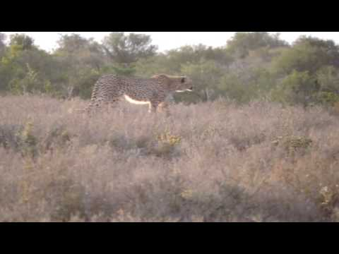 4 Cheetah hunting Waterbuck and Impala (Wait for the chase)