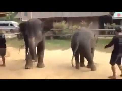 ช้างเต้นเพลงกังนัมสไตล์ Elephant dance Gangnam style.