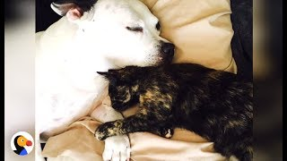 Abandoned Pit Bull Puppy, Feral Kitten FALL IN LOVE | The Dodo