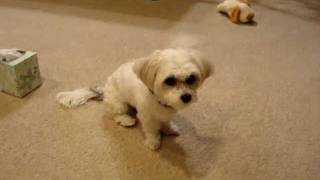 Maltese/shih Tzu Mix Tricks!!~