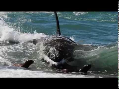 Península Valdés. Capítulo 1: Orcas
