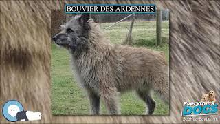 Bouvier des Ardennes  Everything Dog Breeds