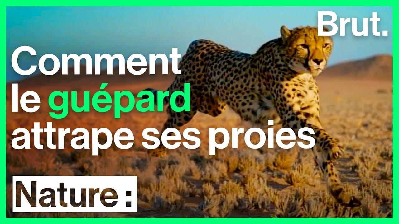 Comment le guépard attrape ses proies