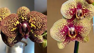 НОВЫЕ ОРХИДЕИ цветущие обзор корни орхидей и листья