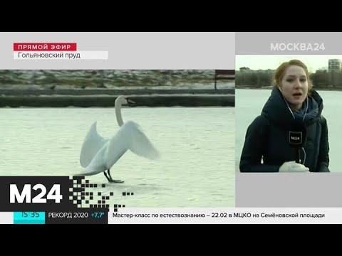 Лебедь на Гольяновском пруду стал звездой соцсетей - Москва 24