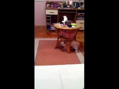 Clumsy ragdoll cat misses bed