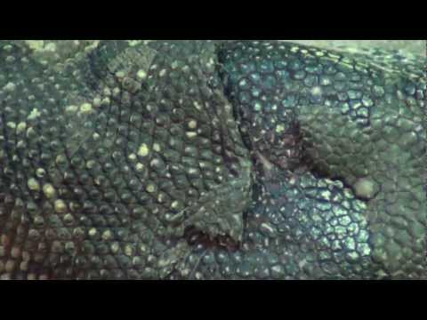 Nile Monitor (Varanus niloticus, Water Leguaan, River Leguaan)