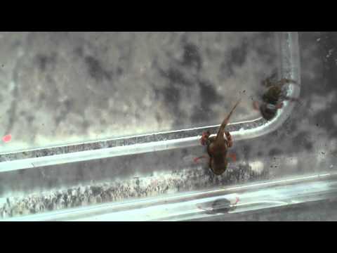 Atelopus Larven Hebben Slechte Voorpoten