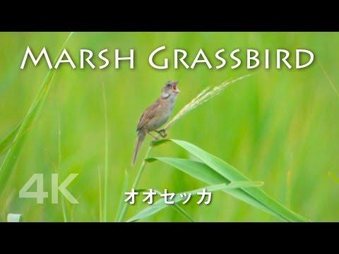 Japanese Marsh Warbler