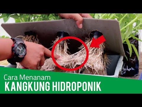 Tutorial Menanam Kangkung Hidroponik (Panen Kedua)