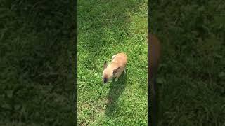 О том как Чунчу покусали муравьи. Для чихуахуа угрозы представляют даже муравьи!) / Видео