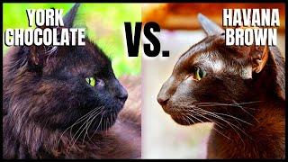 York Chocolate Cat VS. Havana Brown Cat