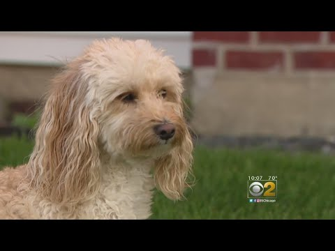 Dogs At Risk For Leptospirosis