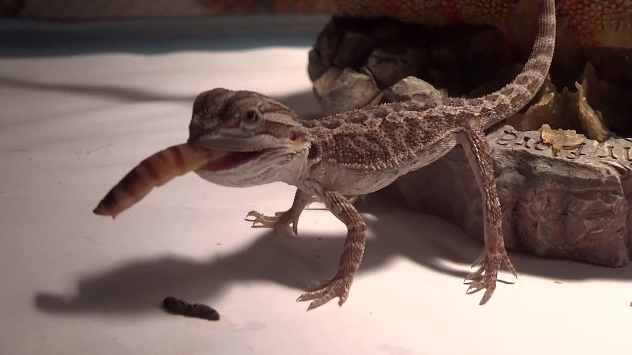 Superworm too big for baby bearded dragon? I dont think so ...