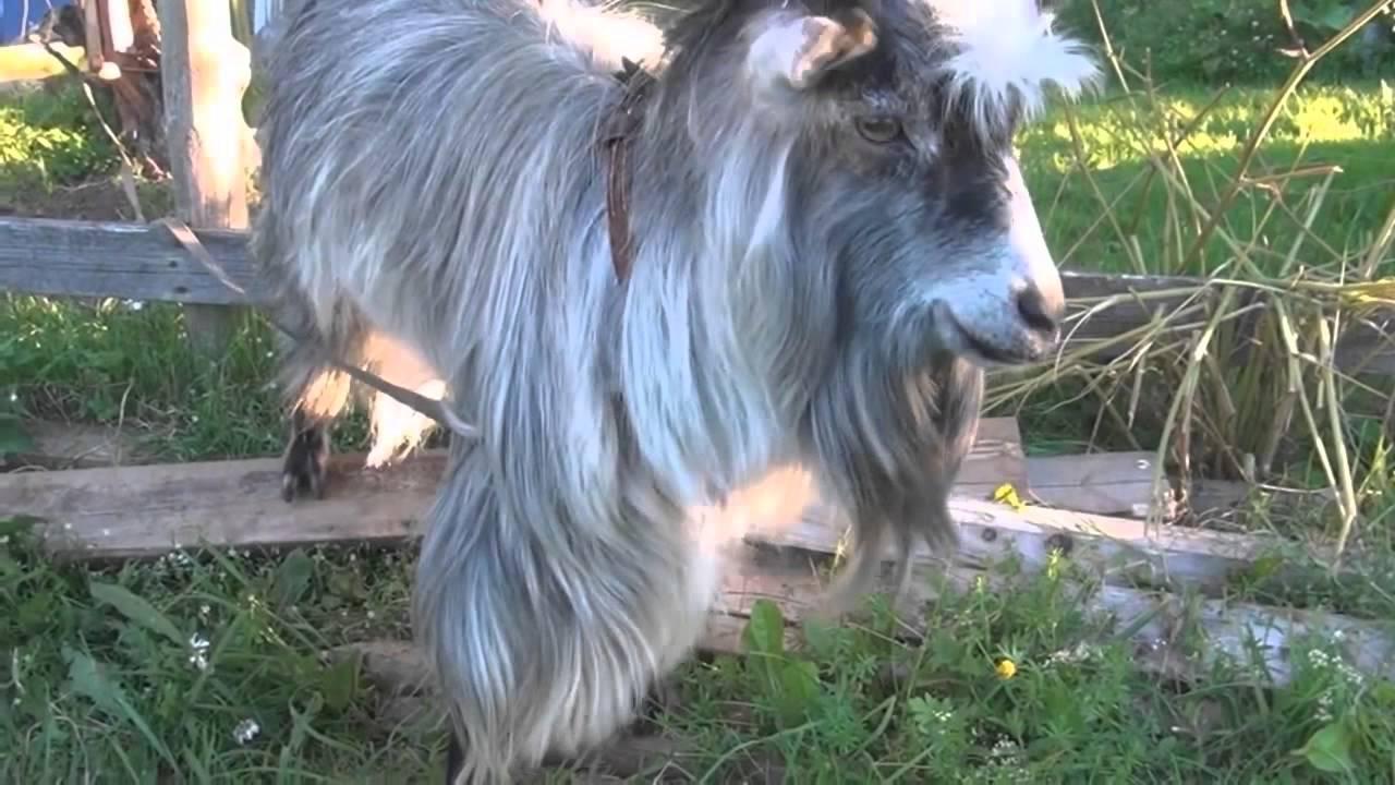 La chèvre qui fait du beatbox