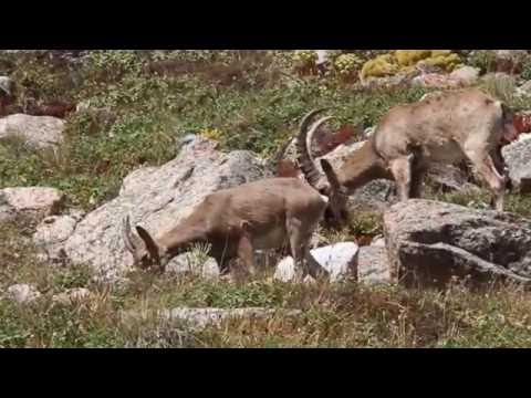 Siberian ibex / Сибирские горные козлы / Capra sibirica
