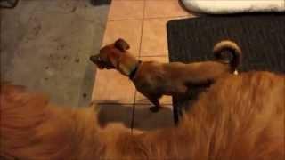 Chihuahua Humping Matrix A Chow Chow German Shepherd Mix