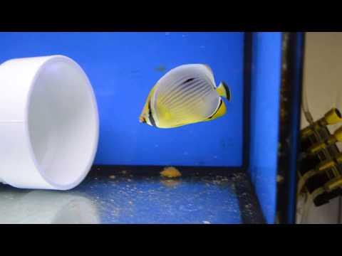 Redfin Or Melon Butterflyfish, Chaetodon Trifasciatus, Eating Nutramar Ova