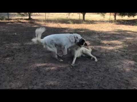 Kiya and Tank with the sheep