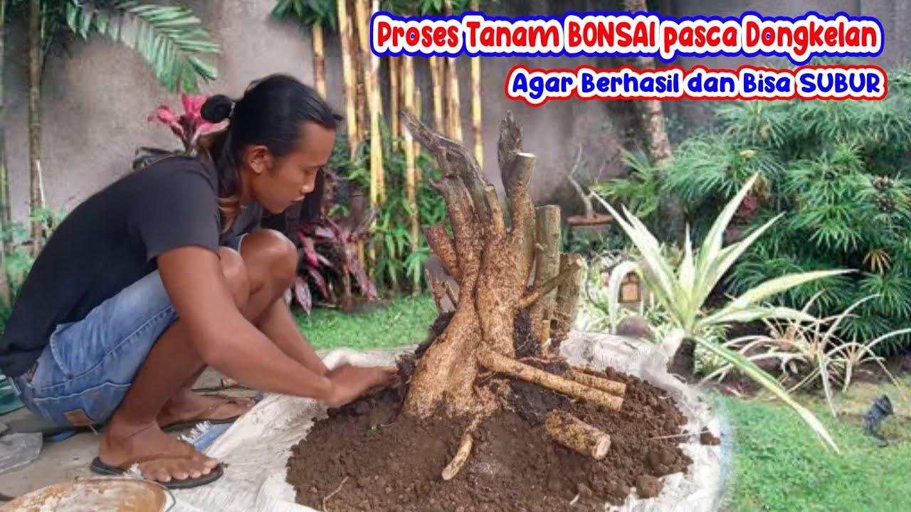 serut tanpa akar bisa subur begini tahap awal proses penanaman bahan bonsai hasil dongkelan