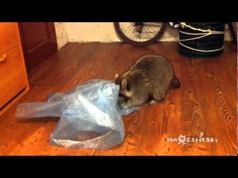 Same Raccoon Popping Bubble Wrap - part 2 / И снова у енота много работы