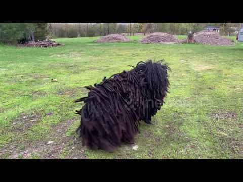 'OMG that's a dog!' Man has hilarious reaction to a Puli pup
