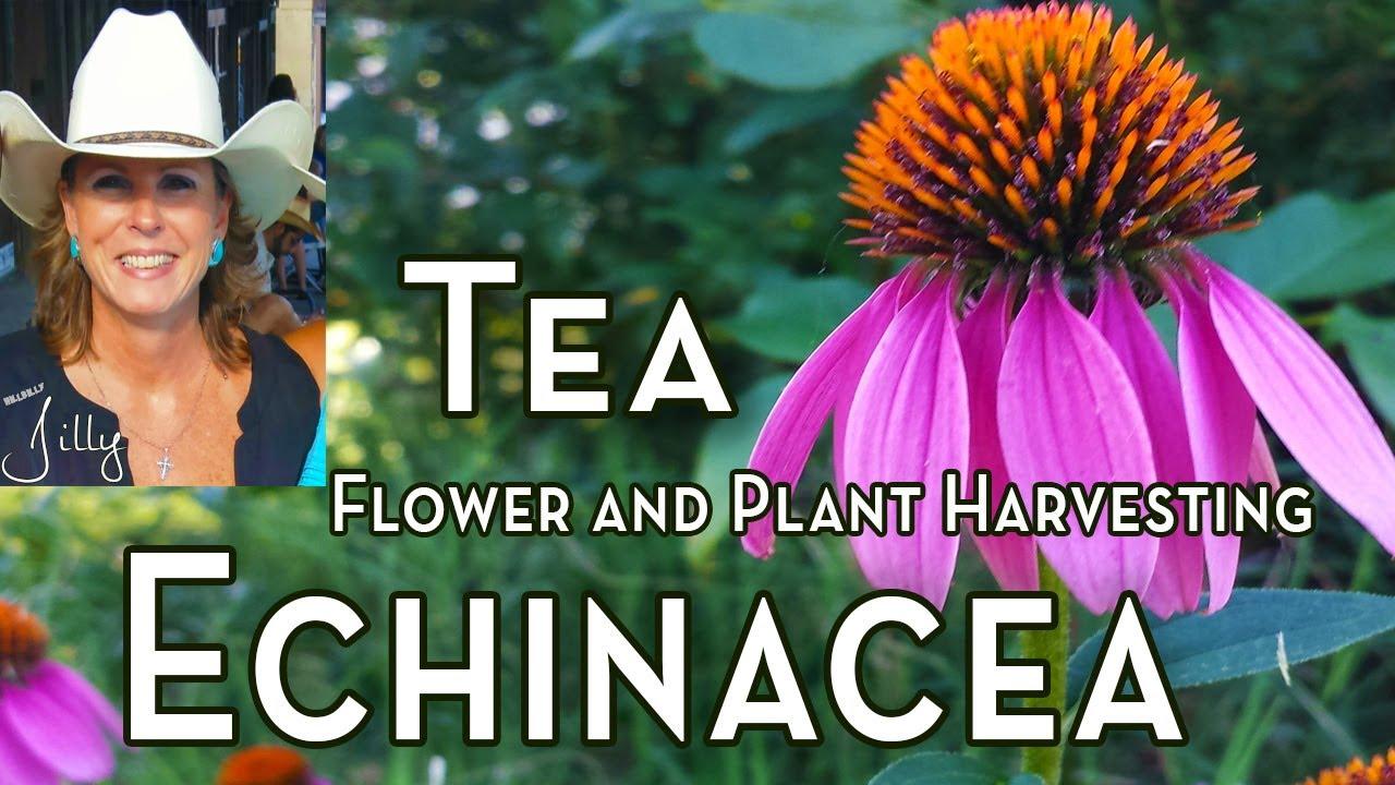 How to Harvest Echinacea