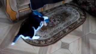 Щенок Хаски Найк играется с тапочком Huskies Nike played with slippers 2