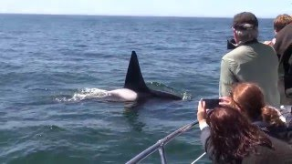 Killer Whales Kill A Gray Whale Calf Monterey Bay