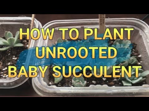 HOW TO PLANT UNROOTED BABY SUCCULENT