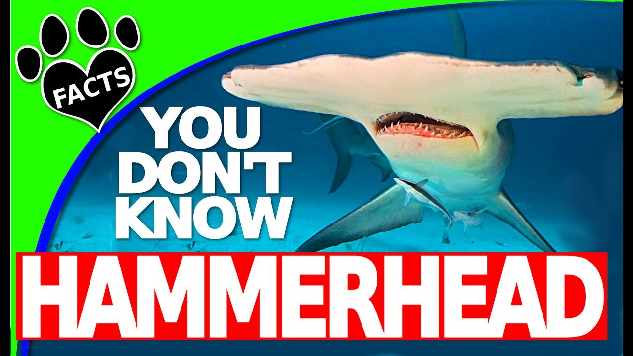 Shark Week: Hammerhead Shark Facts You Probably Didn't Know - Animal Facts
